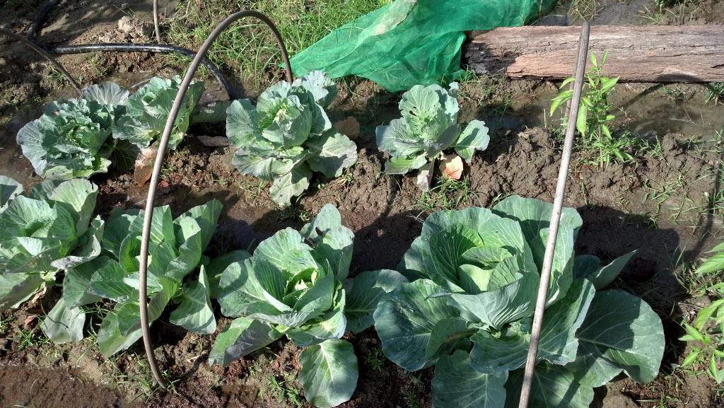 Organic Cabbage有機高麗菜