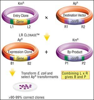 کلون کردن ژن - Gene cloning