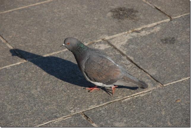 赶路的鸽子