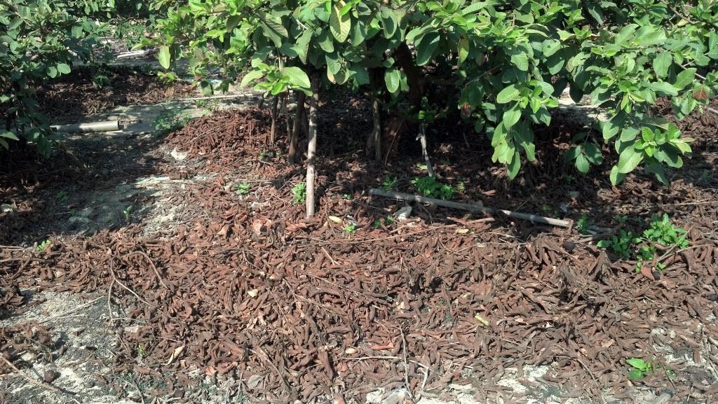 Non-Organic Guava非有機芭樂樹
