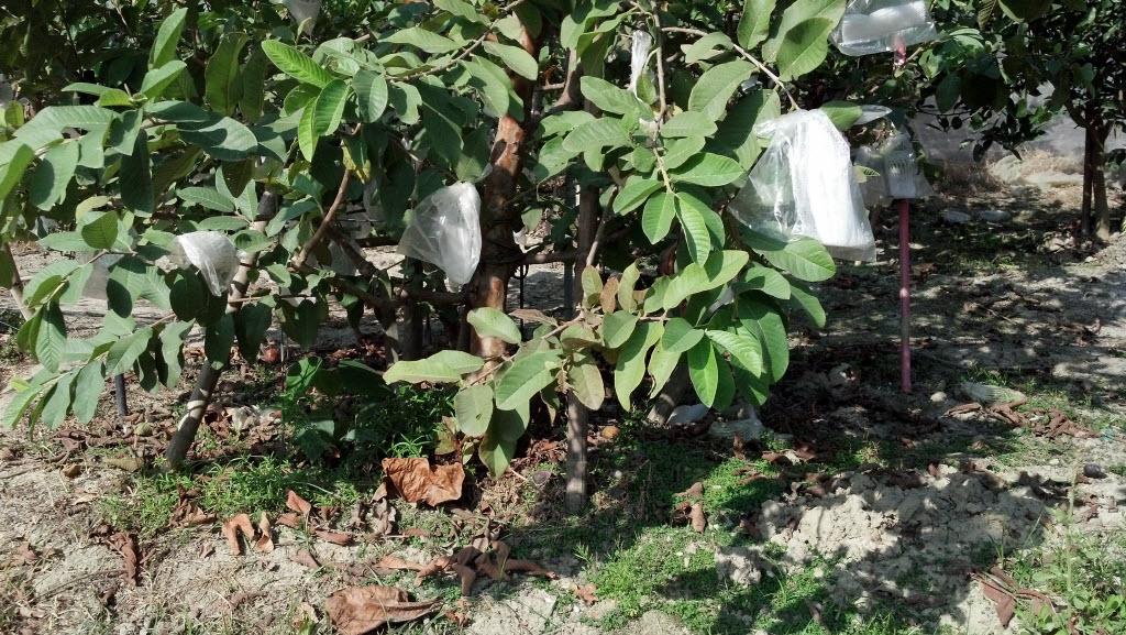 Organic Guava有機芭樂樹