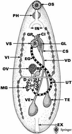مورفولوژی فاسيولا هپاتيكا , Fasciola hepatica