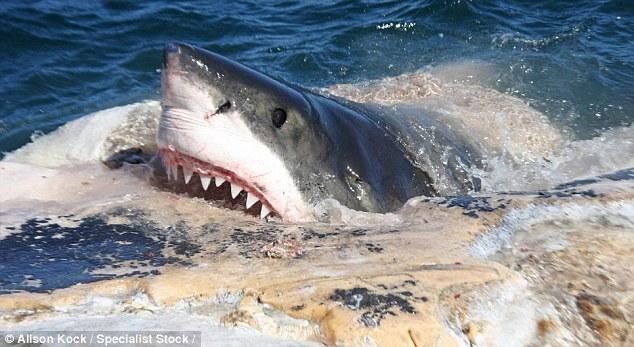 Tiburones blancos se comen a una ballena